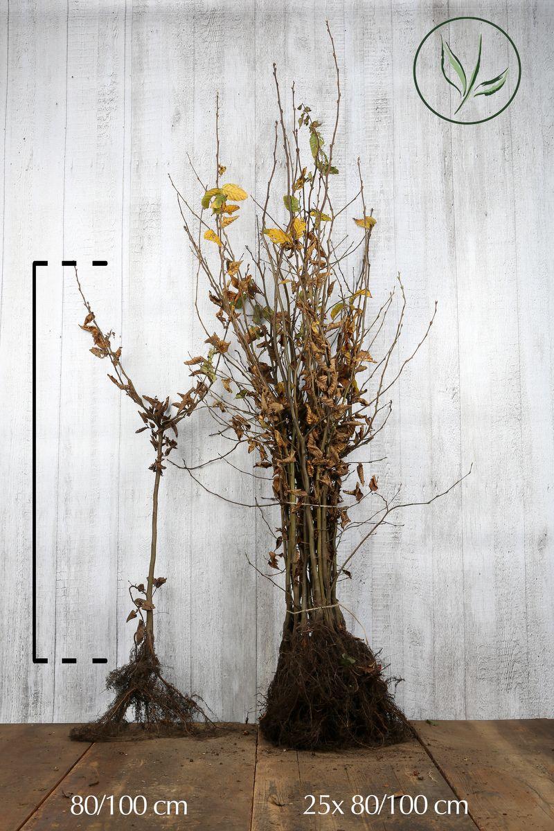 Hainbuche, Weißbuche  Wurzelware 80-100 cm Extra Qualtität