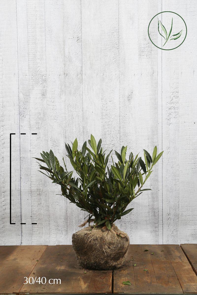 Breitwüchsiger Kirschlorbeer  Wurzelballen 30-40 cm