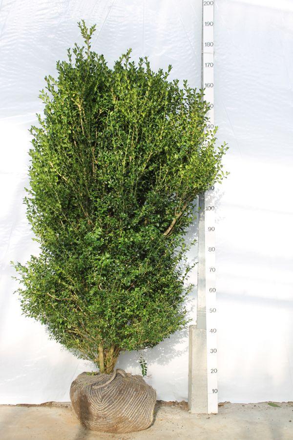 Buchsbaum - Sträucher Wurzelballen 125-150 cm Extra Qualtität