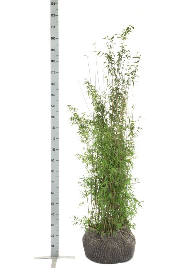 Jadebambus Wurzelballen 150-175 cm
