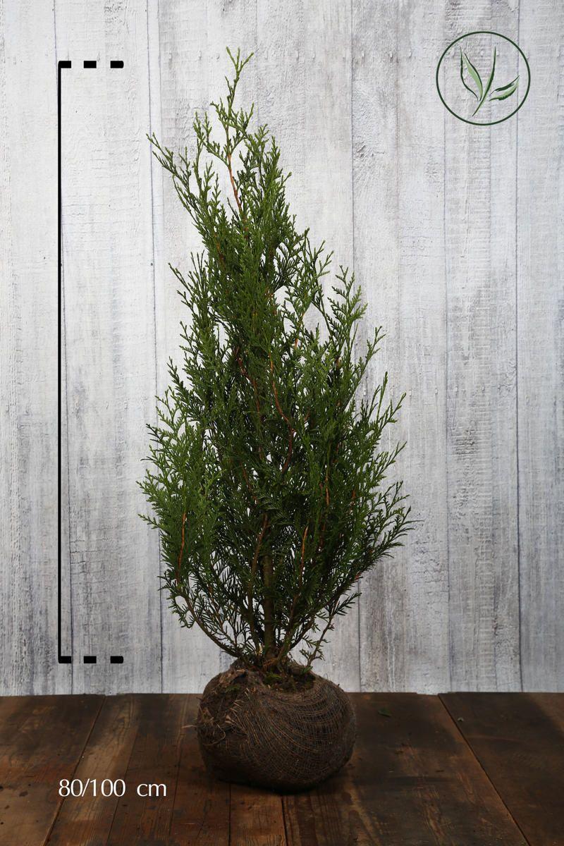 Lebensbaum 'Atrovirens' Wurzelballen 80-100 cm
