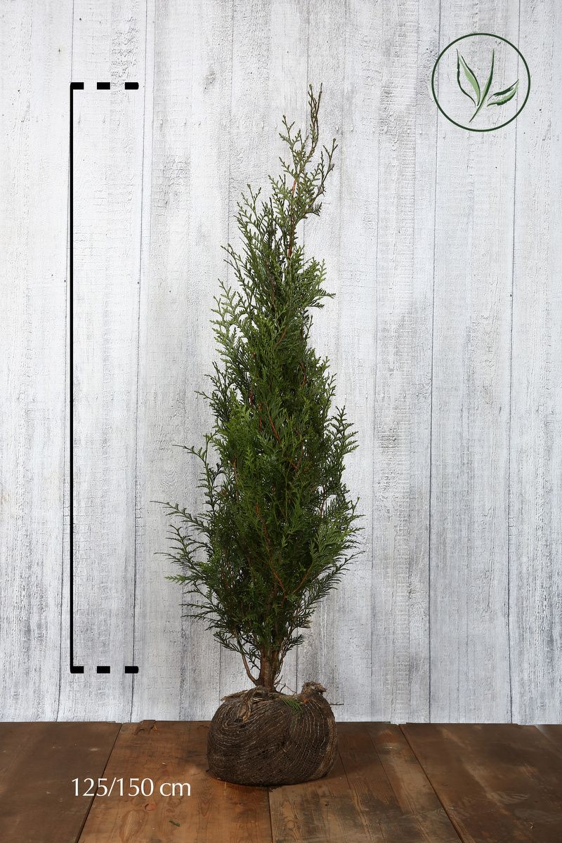 Lebensbaum 'Atrovirens' Wurzelballen 125-150 cm