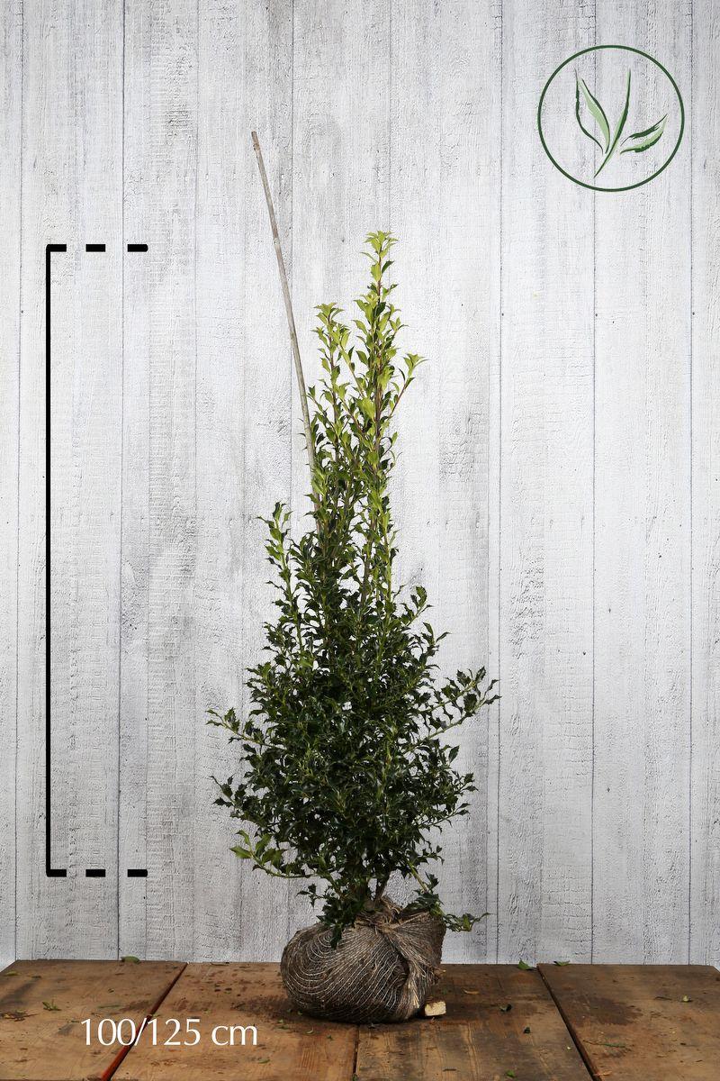 Stechpalme 'Alaska'  Wurzelballen 100-125 cm