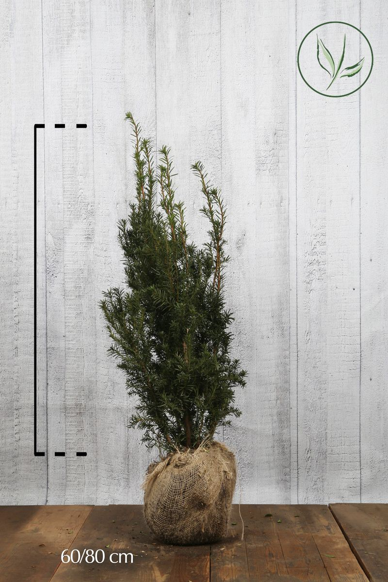 Fruchtende Becher-Eibe Wurzelballen 60-80 cm
