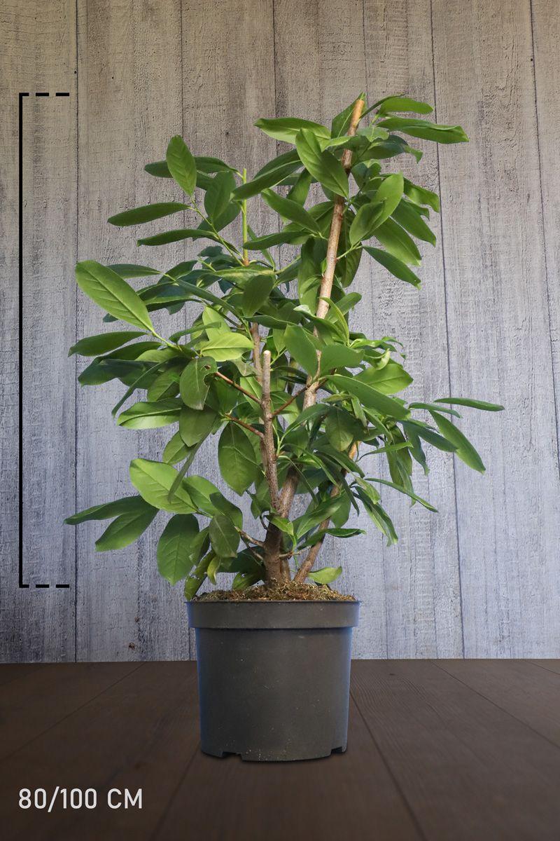 Kirschlorbeer 'Novita' Topf 80-100 cm