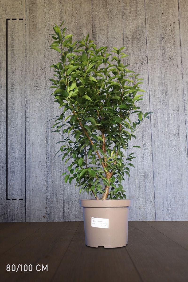 Portugiesischer Kirschlorbeer  Topf 80-100 cm