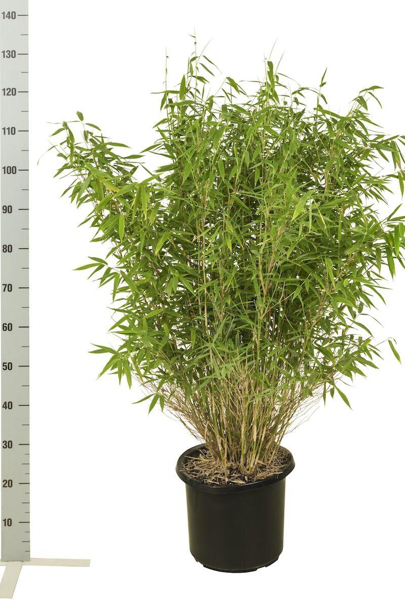 Mähnenbambus Topf 80-100 cm