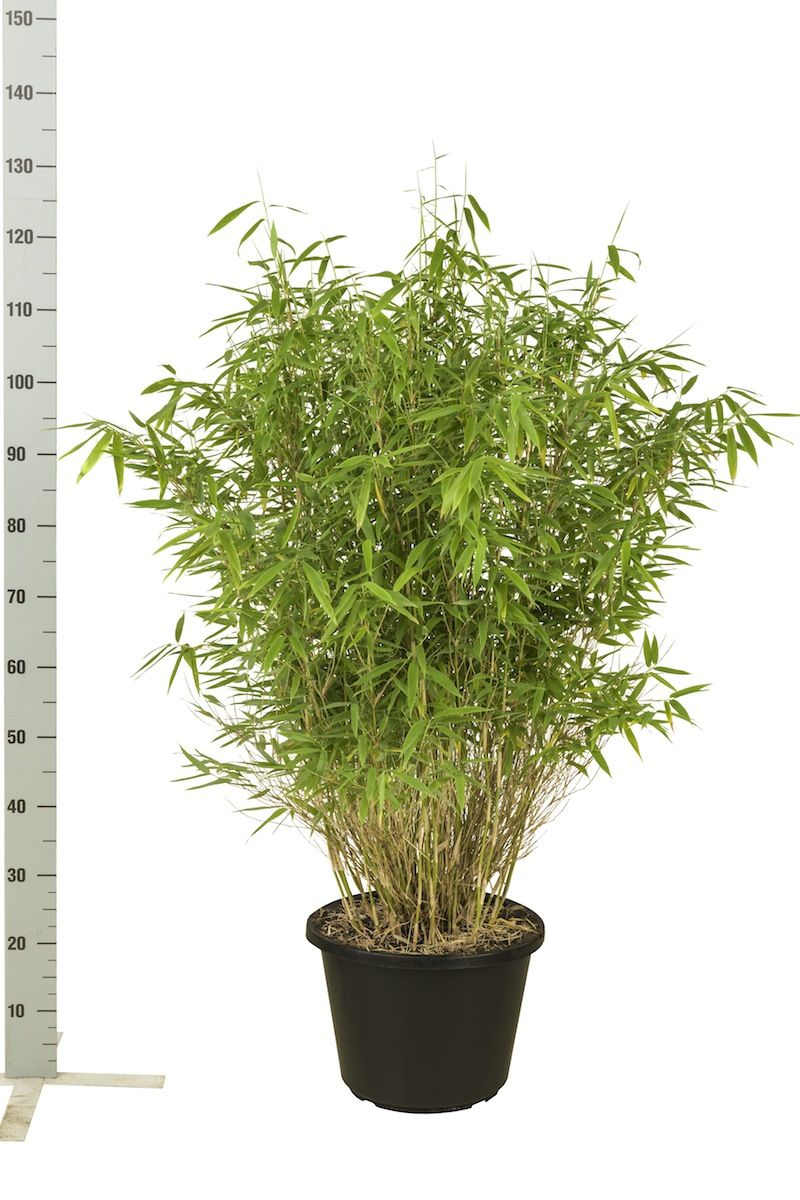 Mähnenbambus Topf 100-125 cm