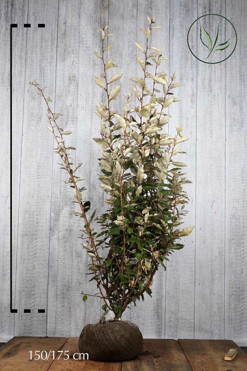 Wintergrüne Ölweide Wurzelballen 150-175 cm