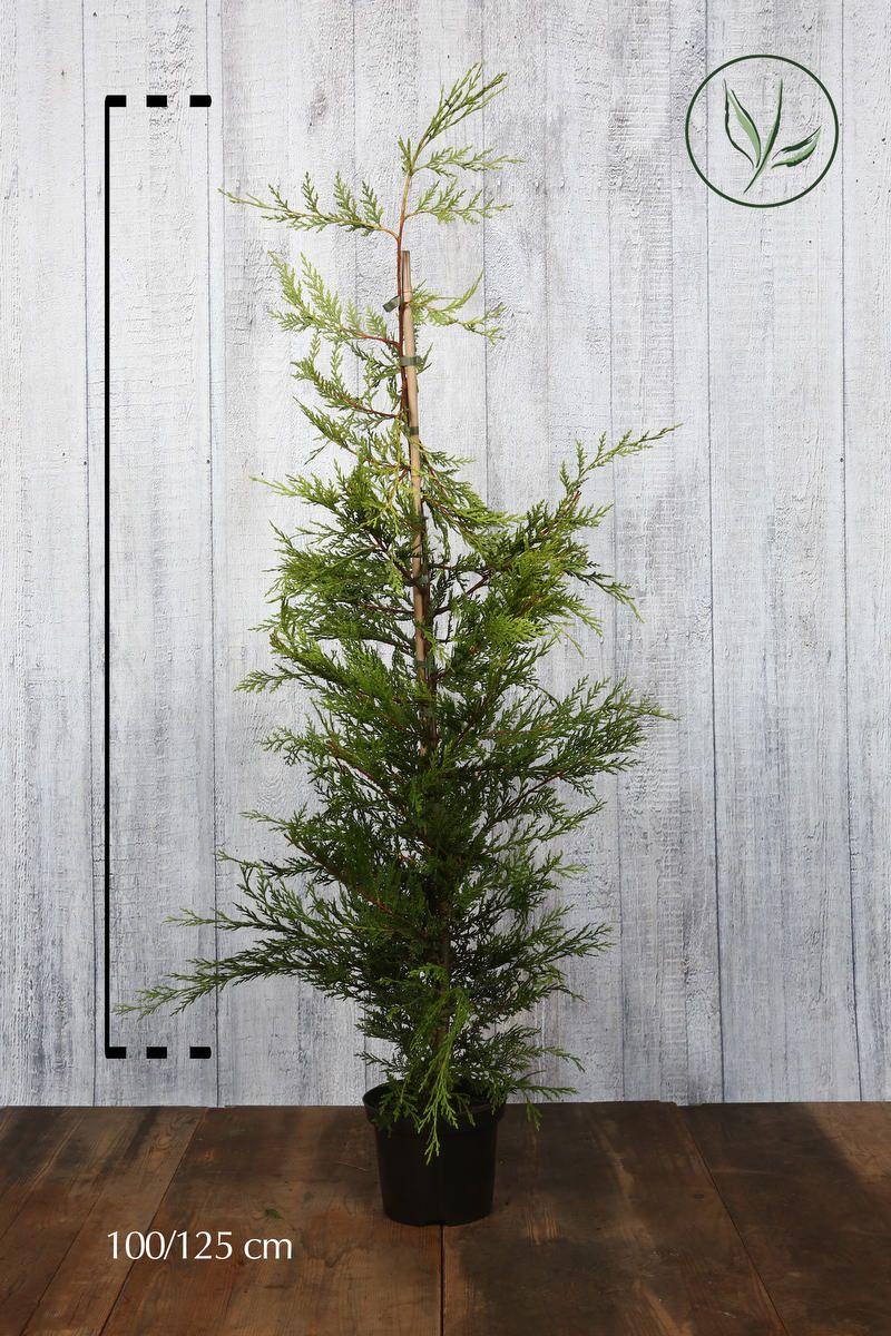 Gelbe Leyland-Zypresse Topf 100-125 cm