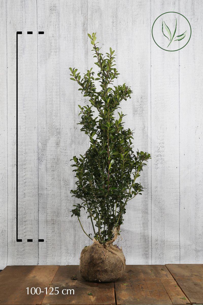 Stechpalme 'Heckenpracht'  Wurzelballen 100-125 cm