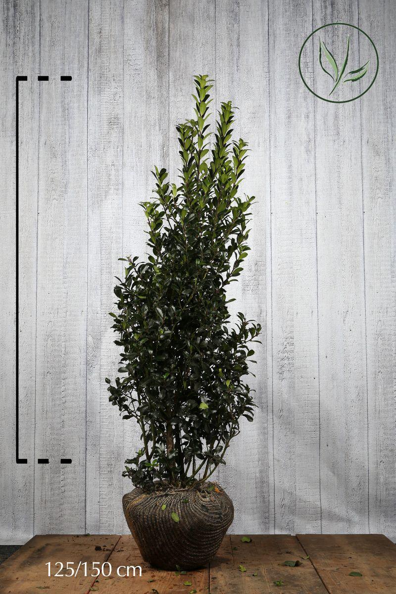 Stechpalme 'Heckenpracht'  Wurzelballen 125-150 cm