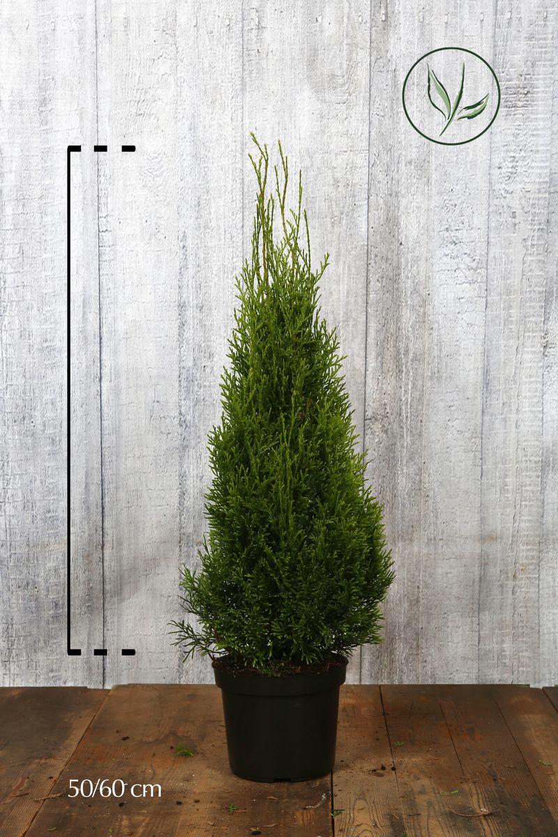 Lebensbaum 'Smaragd'  Topf 50-60 cm Extra Qualtität