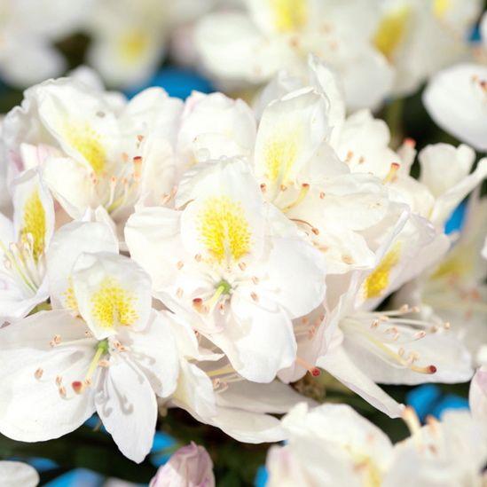 Rhododendron 'Madame Masson'