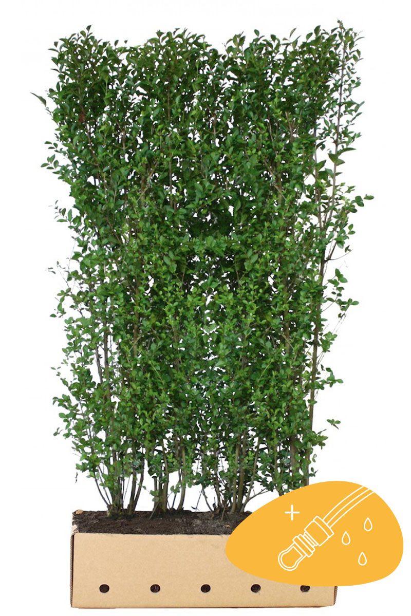 Wintergrüner Liguster 'Atrovirens' Fertig-Hecken 200 cm Fertig-Hecken