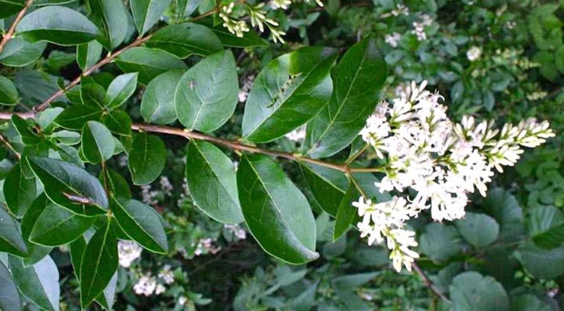 De liguster: een plant met een verhaal