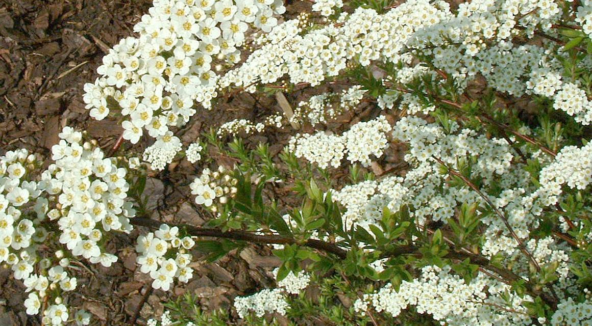 Maak vlinders en bijen blij met een bloeiende haag