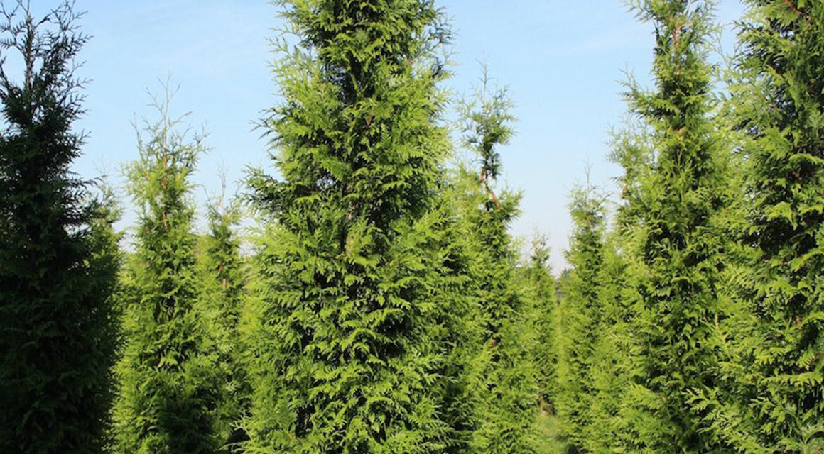 coniferen snoeien tot aan de stam