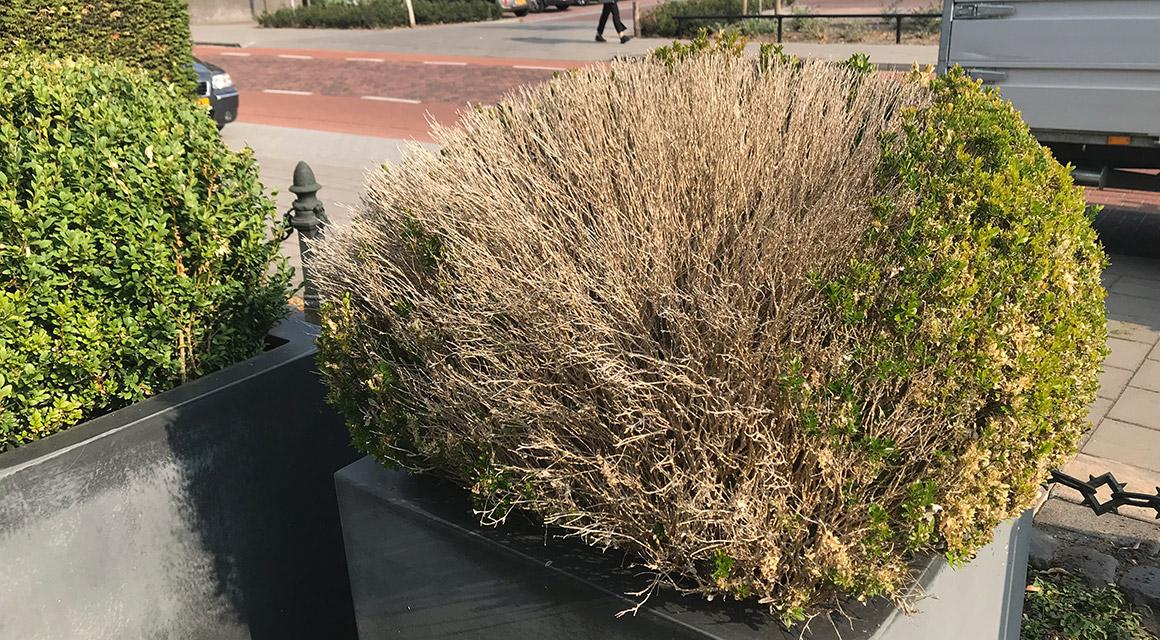 Kaalgevreten buxushaag vervangen