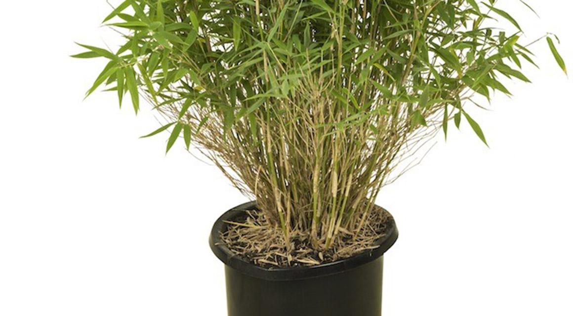Kan ik bamboe in een bak houden?