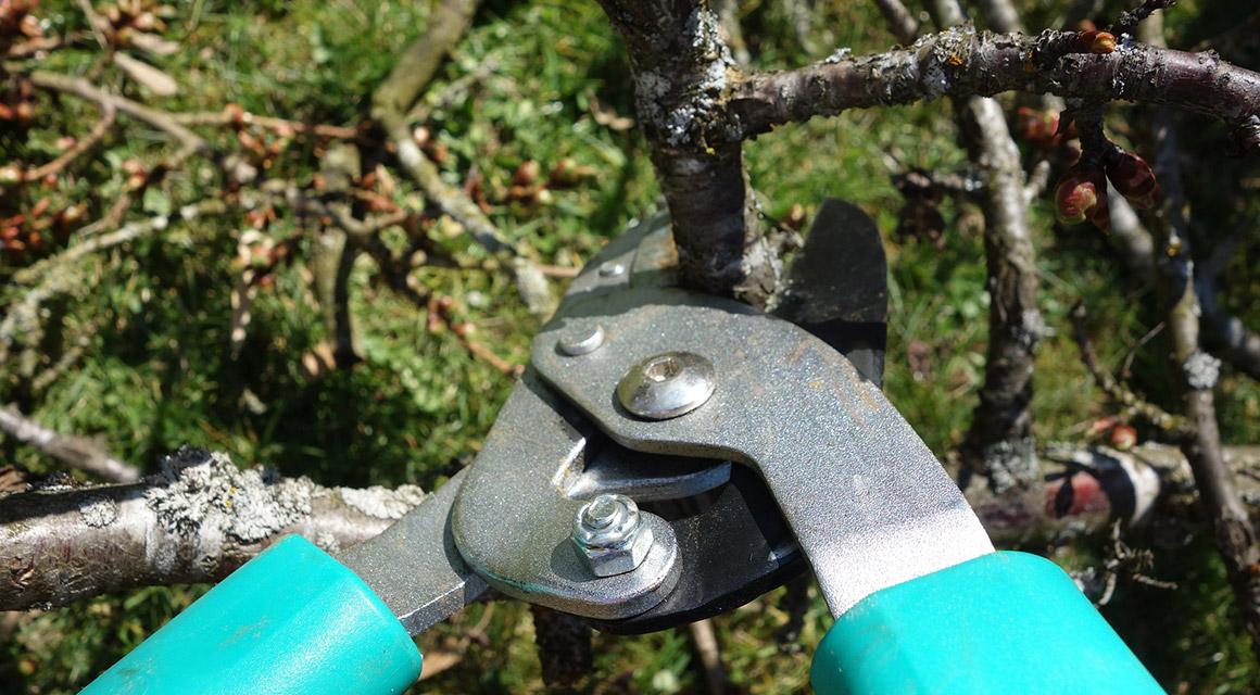 Für dicke Zweige: die Astschere