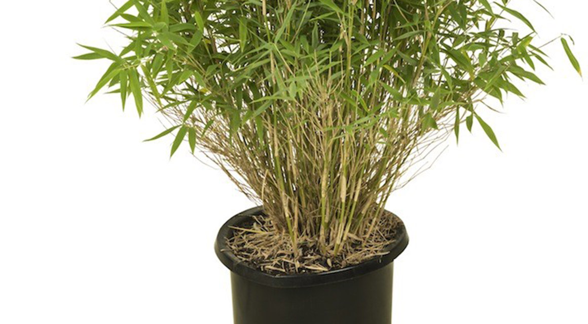 Bambus in einem Blumenkasten wachsen