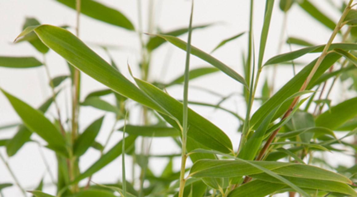 Bambus pflegen ist ein Kinderspiel