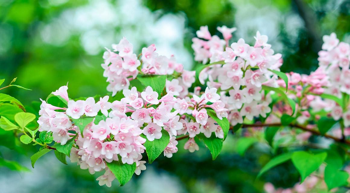 Blühende Hecke im Vorgarten