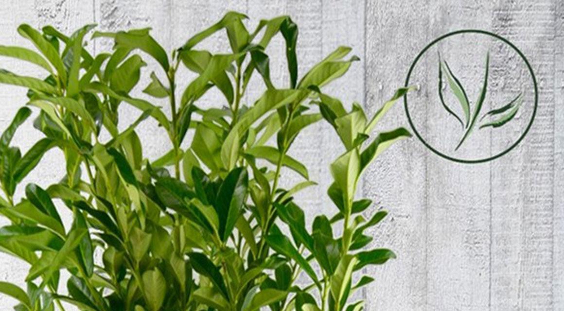 Blüte und Früchte des Kirschlorbeers 'Genolia'®