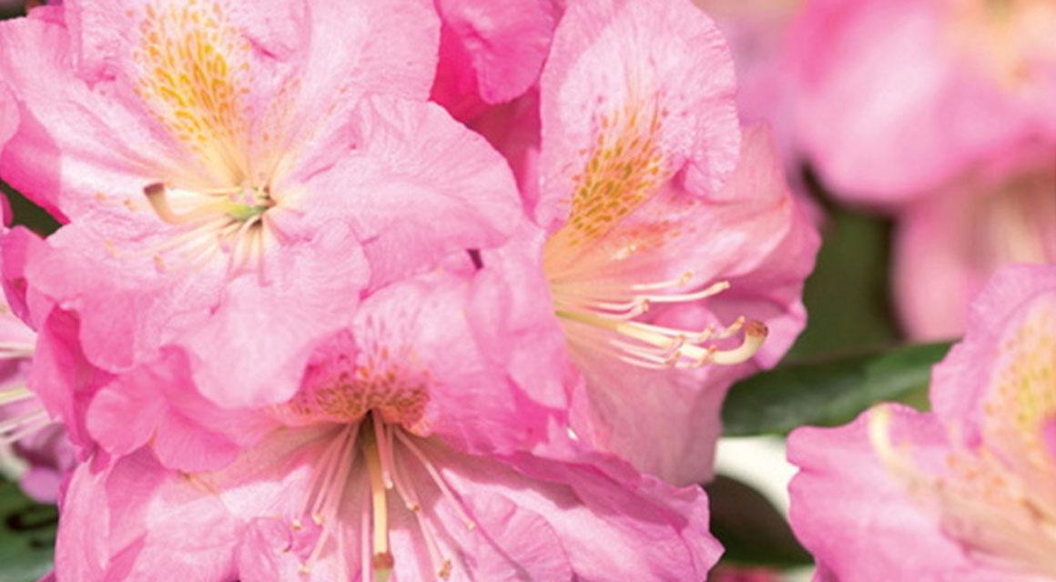 Blütenhecke: der Rhododendron