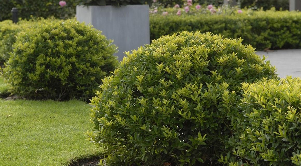 Zusammenfassend: der Buchsbaum-Zünsler zieht sich zurück, wir sollten trotzdem vorsichtig sein