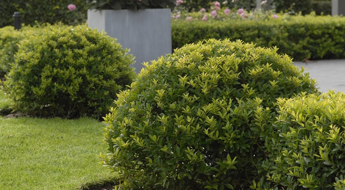 Buchsbaum ersetzen durch Buchsbaum-Ersatz