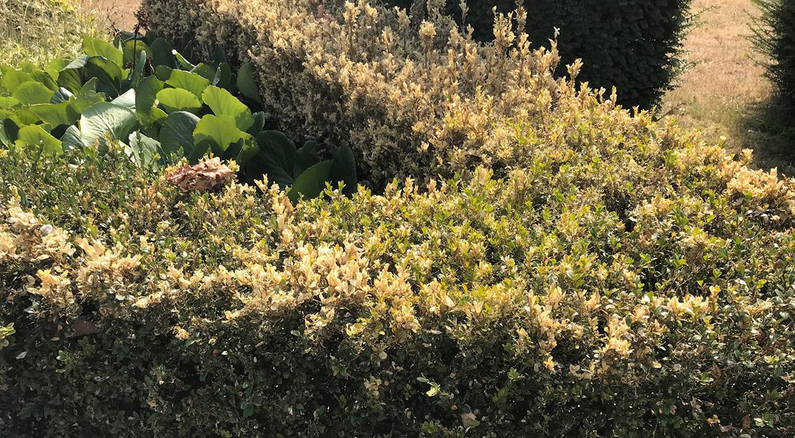 Was sind Buchsbaum-Krankheiten jetzt eigentlich genau?