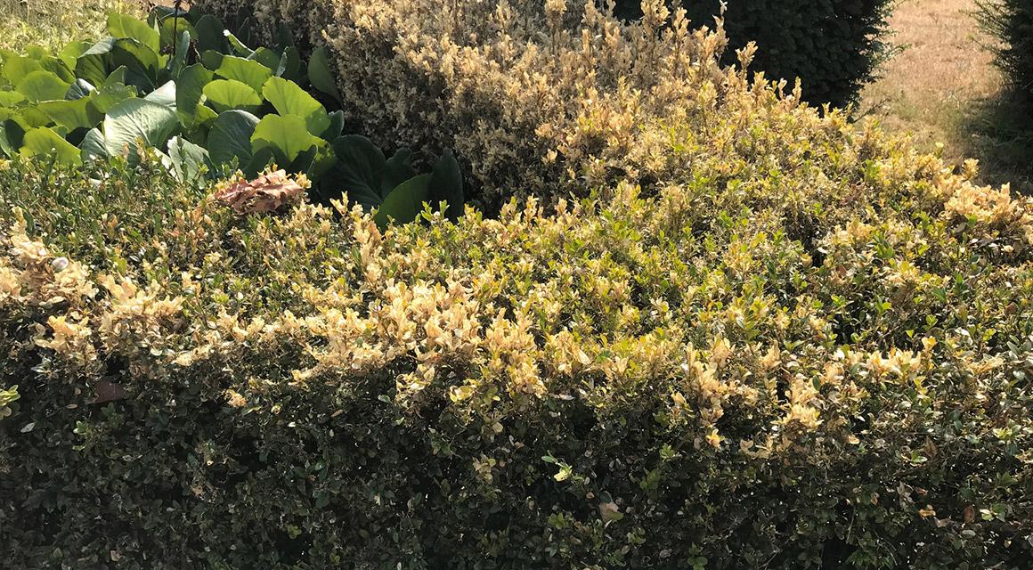 Buchsbaum-Schimmel