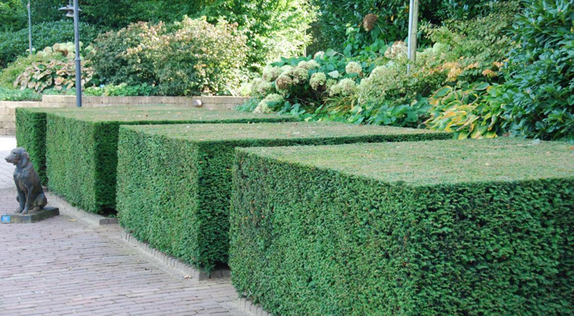 Eibe passt in jeden Garten