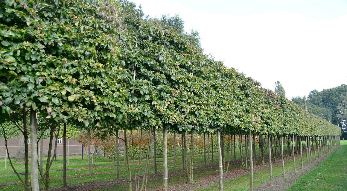 Der Eisenholzbaum