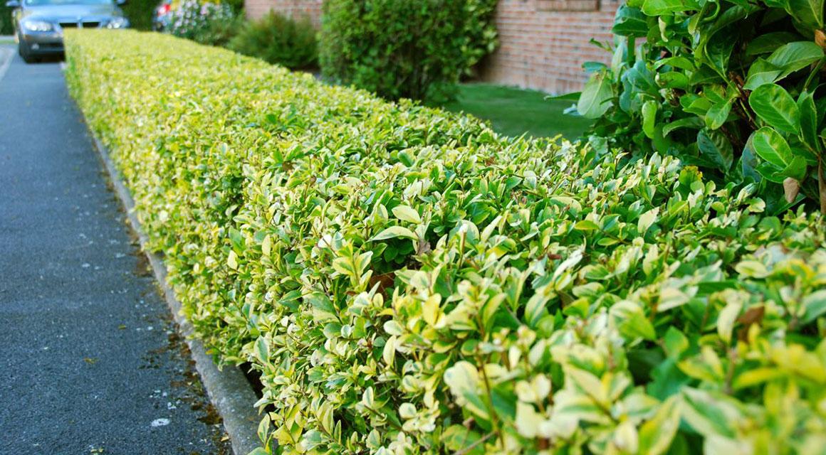 Aufpassen bei giftigen Heckenpflanzen