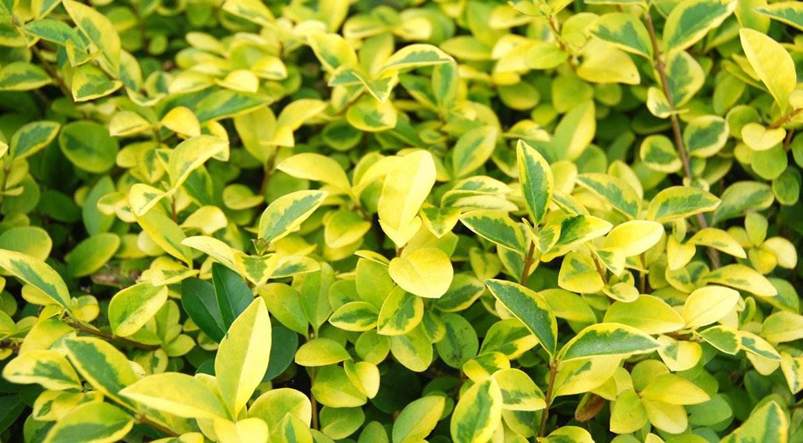 Goldliguster Heckenpflanze