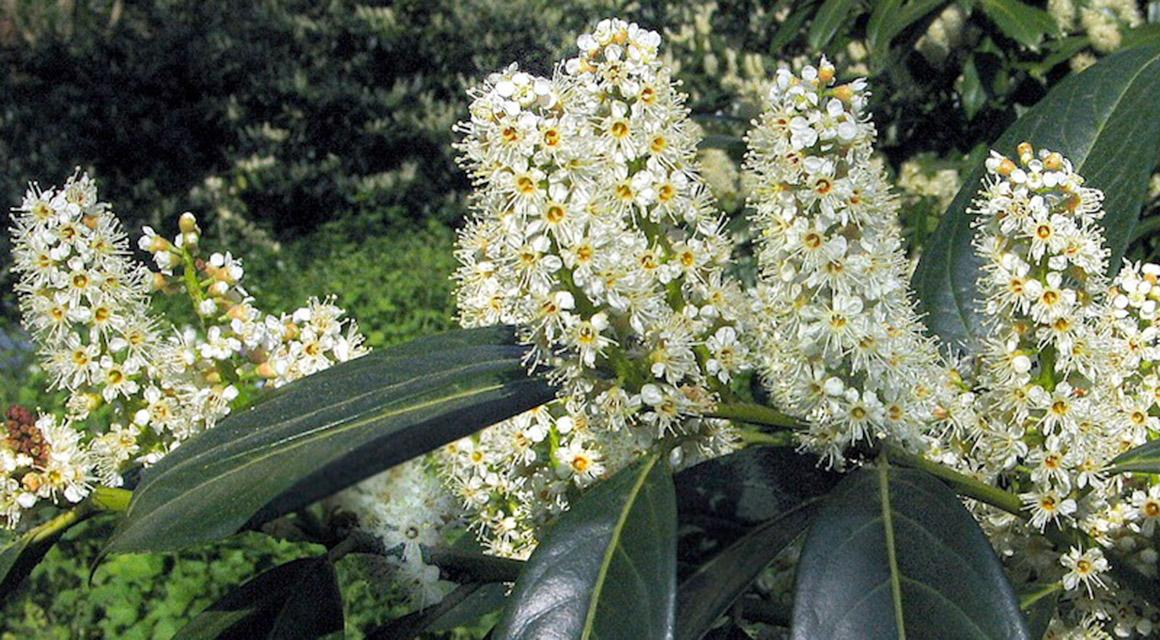 Grün bleibende Gartenabgrenzungen: Sorten
