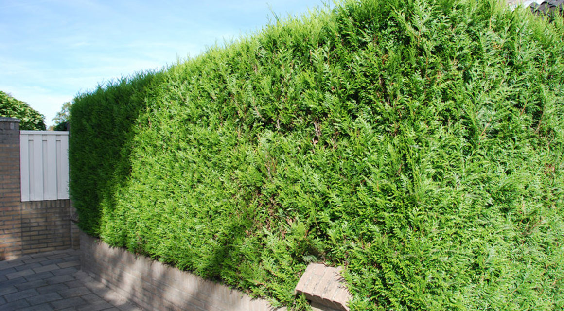 Heckenkoniferen für große Gärten