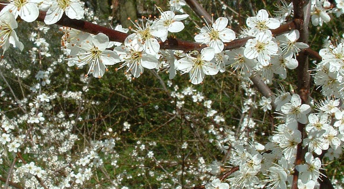 Was macht eine Heckenpflanze einbruchhemmend?