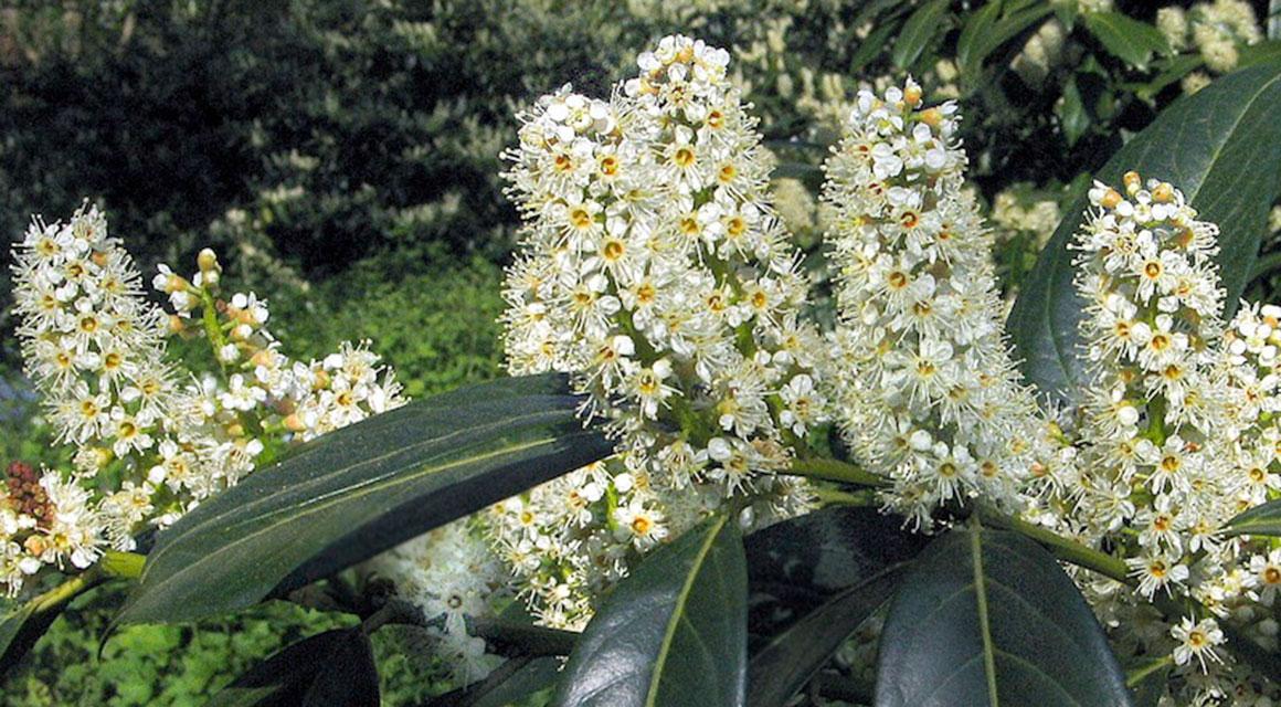 Beliebte Heckenpflanzen mit giftigen Beeren