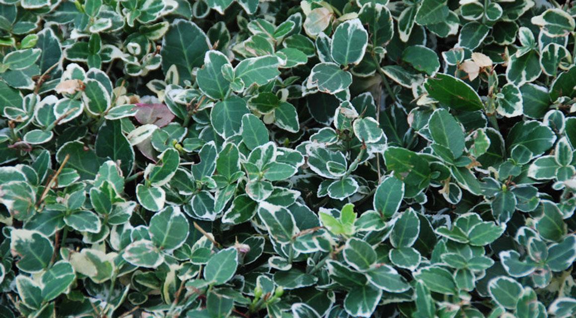 Was für Heckenpflanzen sind Kriechspindeln?