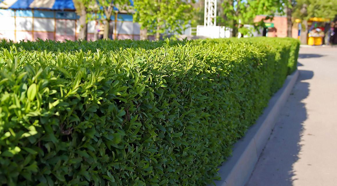 Welche immergrüne Hecke eignet sich für meinen Garten?