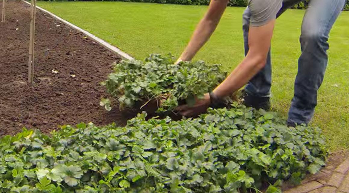 Immergrüne oder blühende Bodendecker