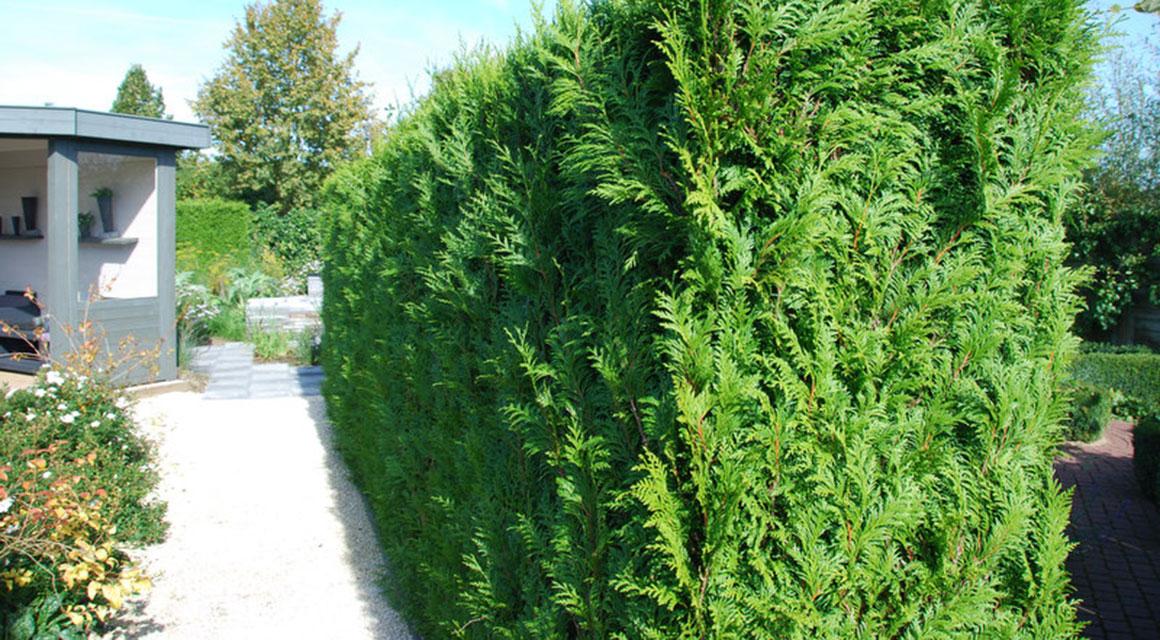 Eine immergrüne oder blühende Hecke