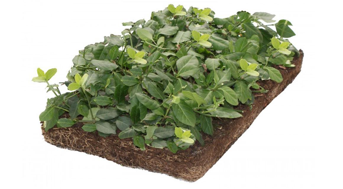 Immergrüne oder blühende Bodendecker?