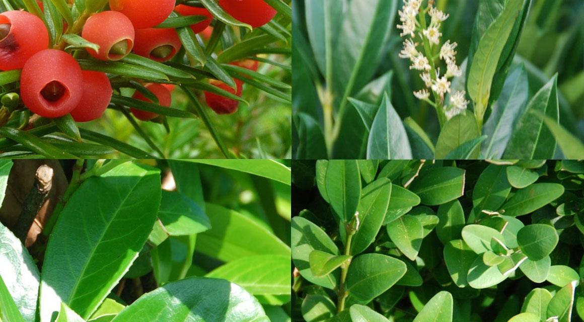 Immergrüne Heckenpflanzen für den naturbelassenen Garten