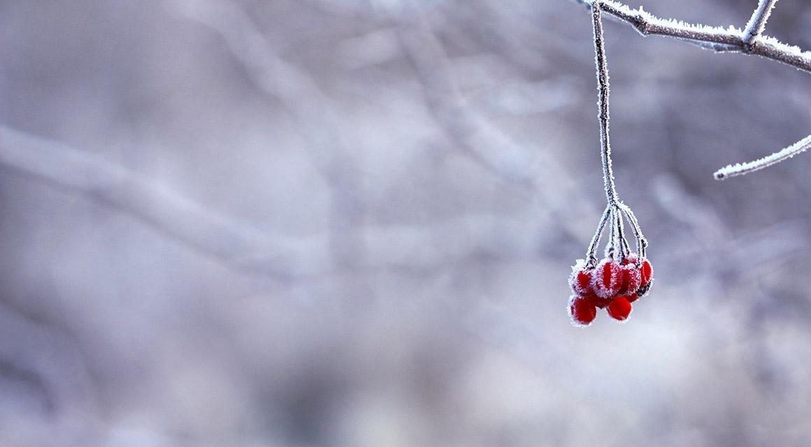 Sind immergrüne Heckenpflanzen auch immer winterhart?