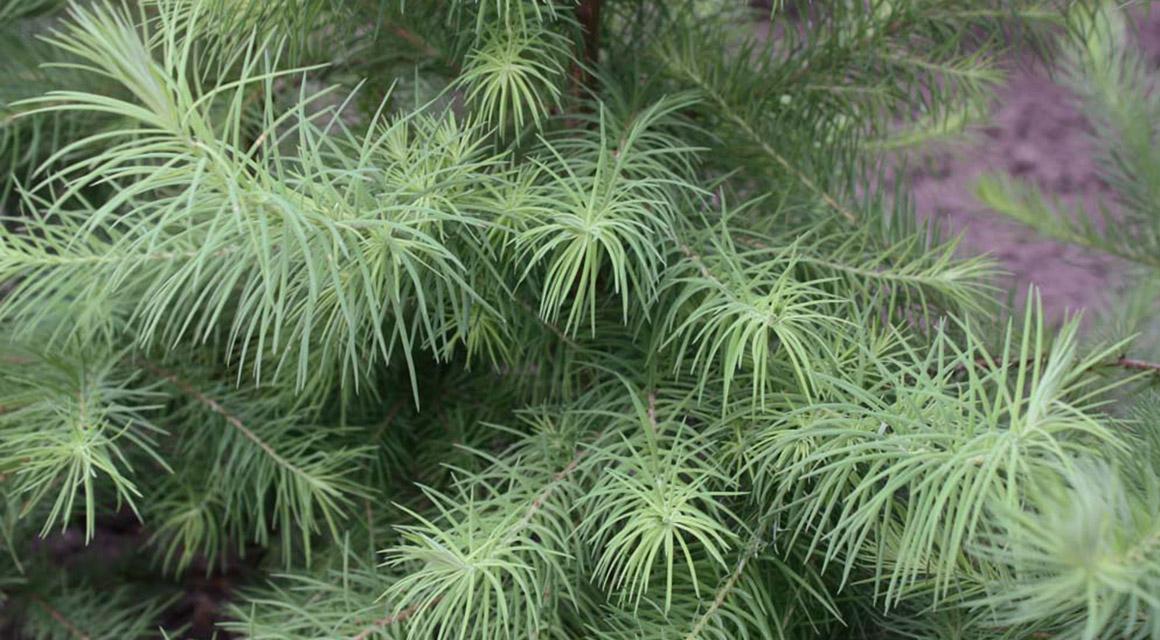 Japanische Lärchen als Heckenpflanzen